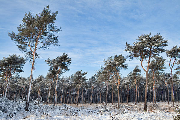 Beautiful Photograph - Winter Forest Covered With Snow by Dirk Ercken