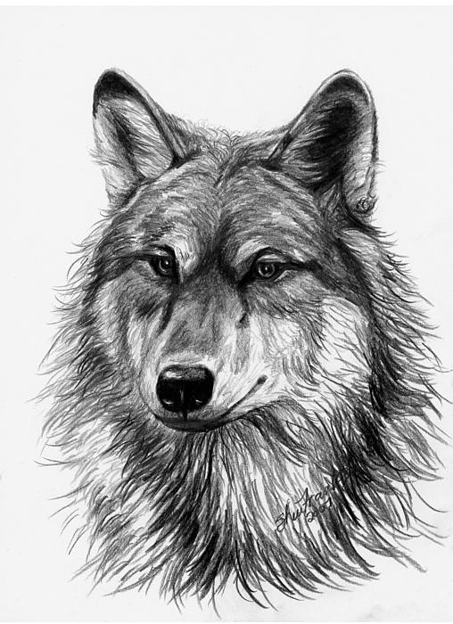 how to draw a wolf head youtube