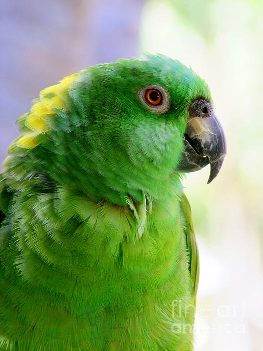 Yellow Crowned Amazon Parrot No 1 Photograph  - Yellow Crowned Amazon Parrot No 1 Fine Art Print