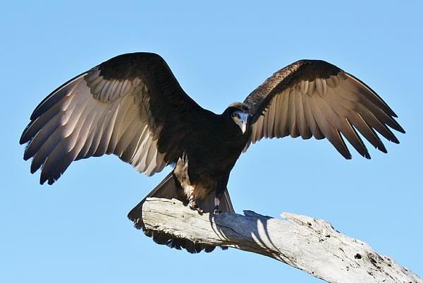 Vulture Photograph - Yellow Headed Vulture by Paulette Thomas
