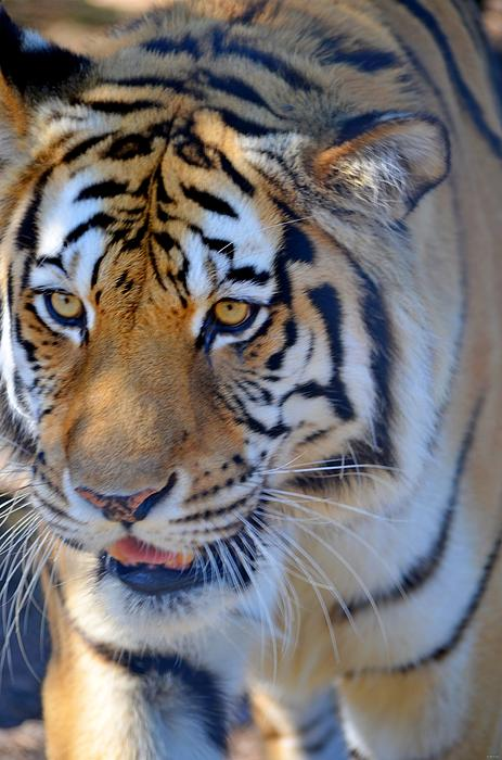 Zootography Photograph - Zootography3 Tiger Prowl Close-up by Jeff at JSJ Photography