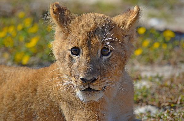 Zootography Photograph - Zootography3 Zion The Lion Cub by Jeff at JSJ Photography