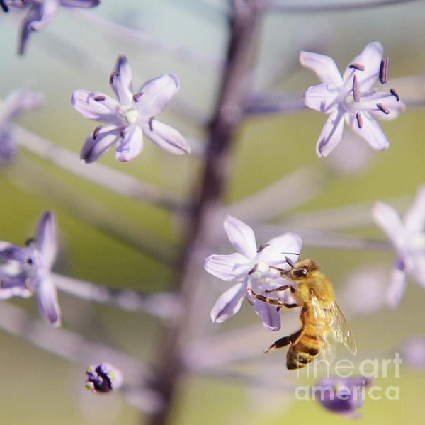 Bee Collects Nectar Photograph  - Bee Collects Nectar Fine Art Print