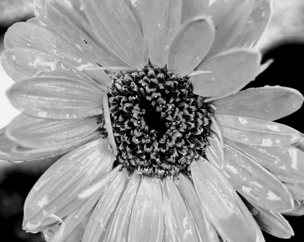 Black and White Gerbera Daisy Photograph - Black and White Gerbera Daisy
