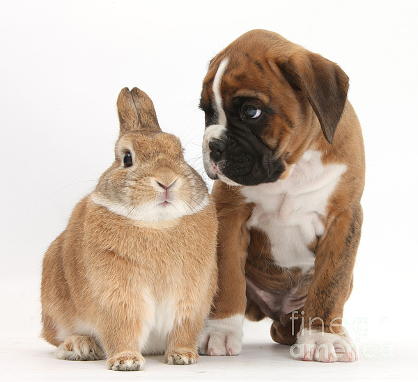 Boxer Photograph - Boxer Puppy And Netherland-cross Rabbit by Mark Taylor
