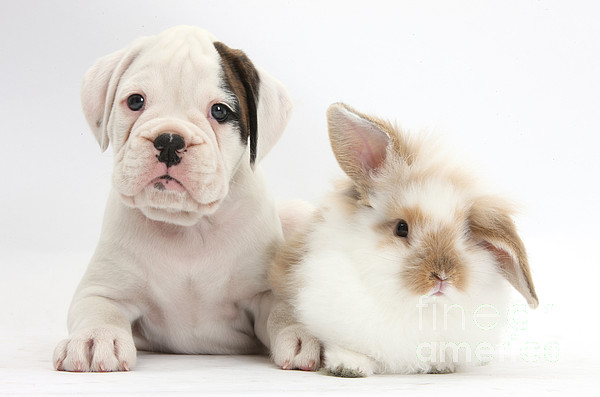Nature  - Boxer Puppy And Young Fluffy Rabbit by Mark Taylor