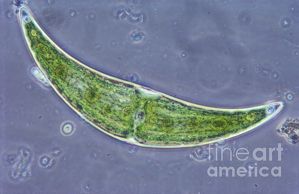 Science Photograph - Closterium Sp. Algae Lm by M. I. Walker