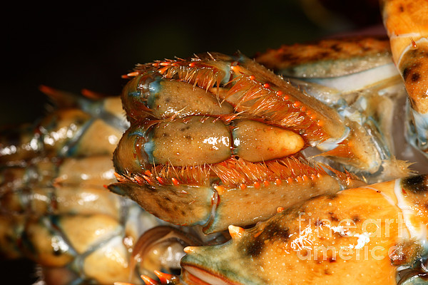 Northern Lobster Photograph - Lobster Mouth by Ted Kinsman