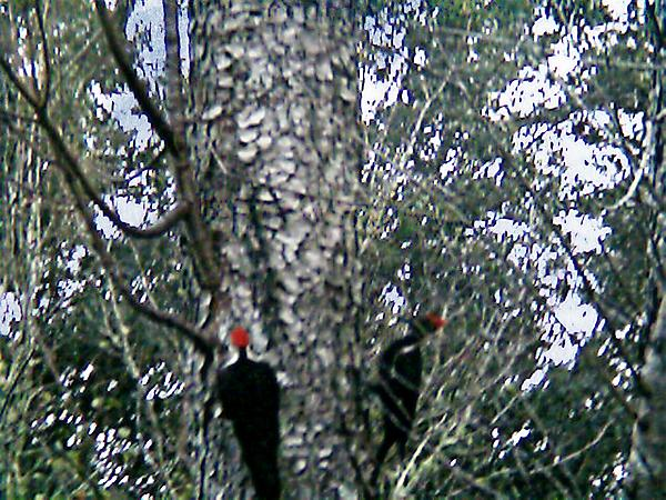 Sherry Gombert - Pileated Woodpeckers