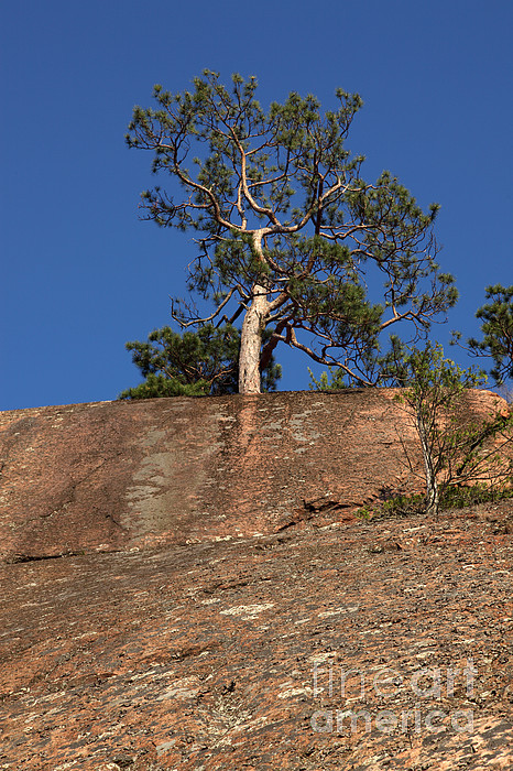 Granite Bedrock Photograph - Red Pine Tree by Ted Kinsman