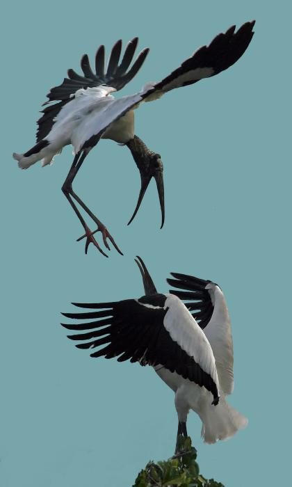 Larry Linton - Wood Stork Pair
