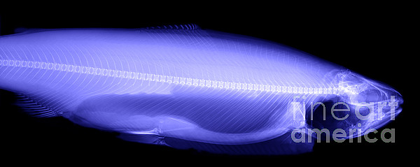 Xray Photograph - X-ray Of A Trout by Ted Kinsman