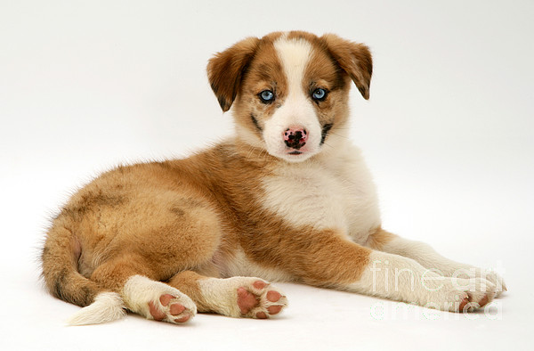 Domestic Photograph - Border Collie Puppy by Jane Burton