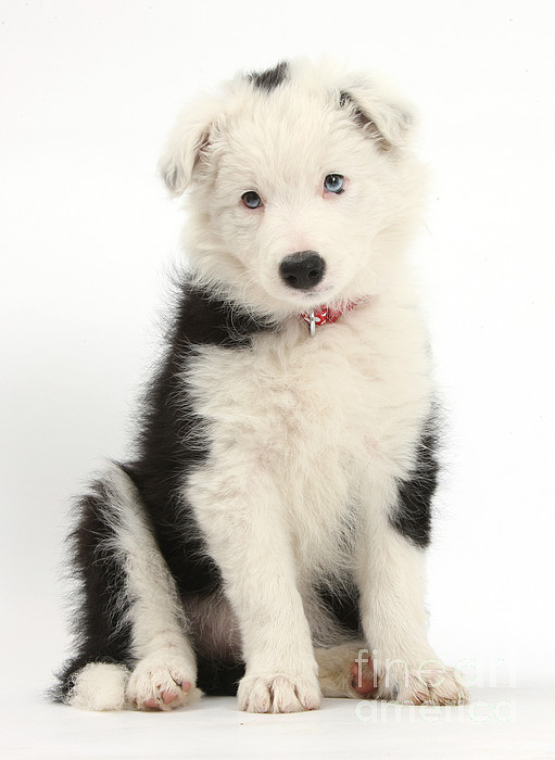 Nature  - Border Collie Puppy by Mark Taylor