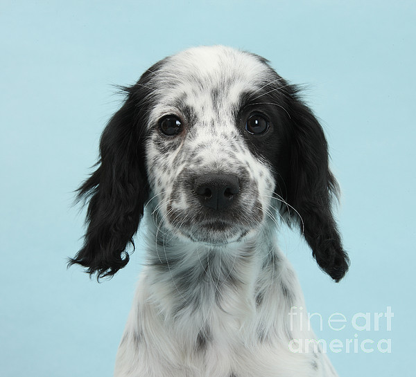 Nature Photograph - Border Collie X Cocker Spaniel Puppy by Mark Taylor