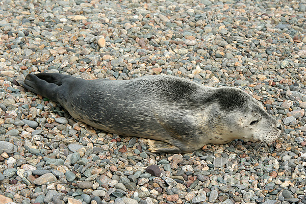 Fauna  - Injured Harbor Seal by Ted Kinsman