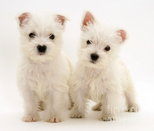 Dog Photograph - West Highland White Terriers by Jane Burton