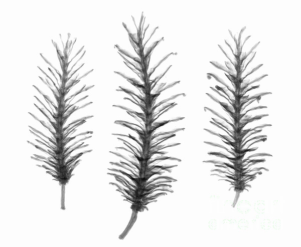Pine Cones Photograph - X-ray Of Pine Cones by Ted Kinsman