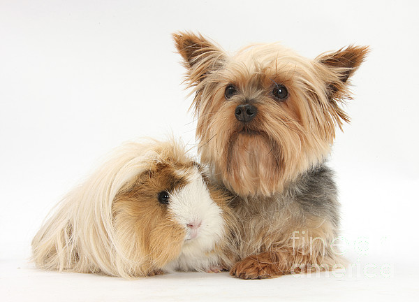 Fauna  - Yorkshire Terrier And Guinea Pig by Mark Taylor