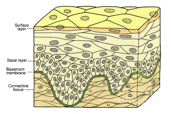 Medical Photograph - Illustration Of Stratified Squamous by Science Source