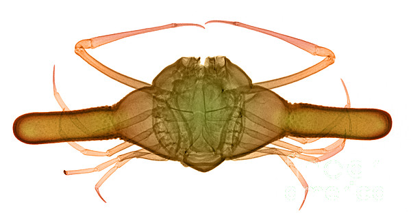 Xray Photograph - X-ray Of Deep Water Crab by Ted Kinsman