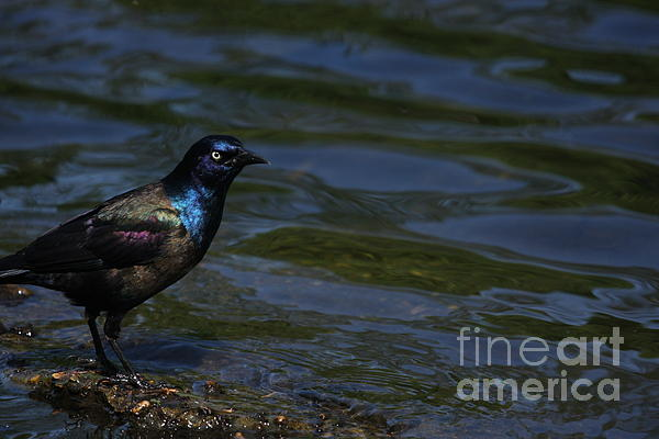 common grackle images. A Common Grackle Photograph