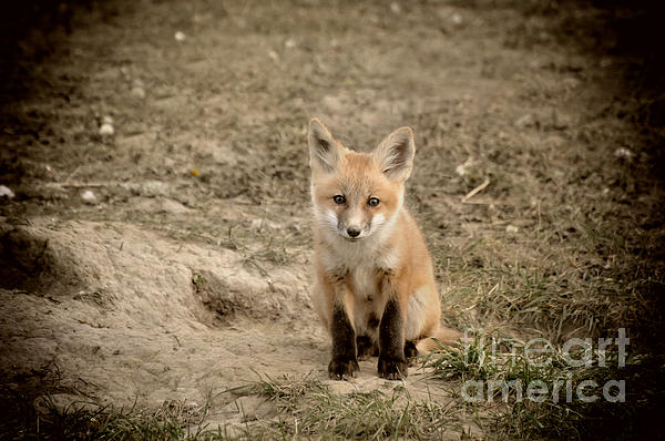 Prairie Poetry - A Little Foxy