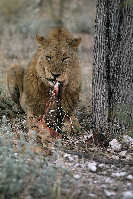 Africa Photograph - A View Of A Lion Panthera Leo Eating by Des &Amp Jen Bartlett