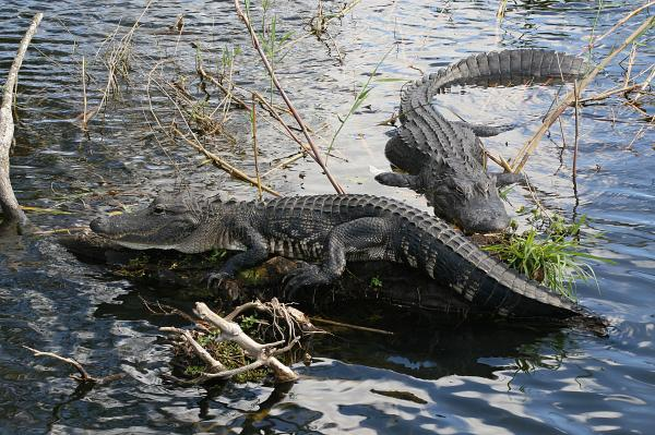 The American alligator is known as King of the Everglades.