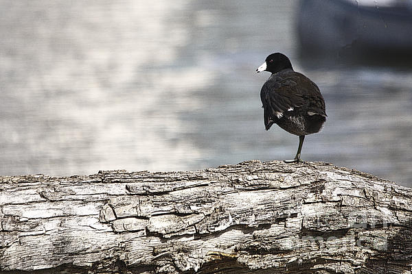 Roy Williams - American Coot Standing On One Leg