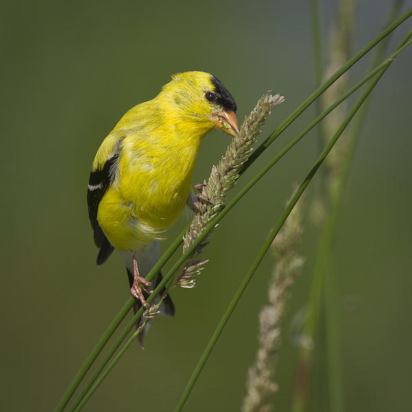 David DesRochers - American Goldfinch
