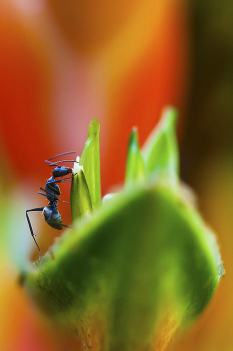Zoe Ferrie - Ant on a Heliconia Stricta Flower