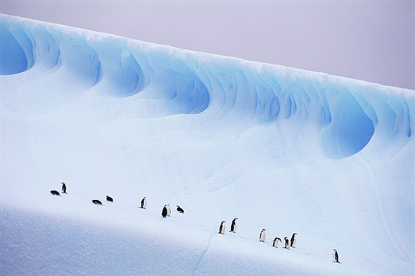 Kevin Schafer - Antarctica, South Orkney Islands, Chinstrap Penguins On Iceberg
