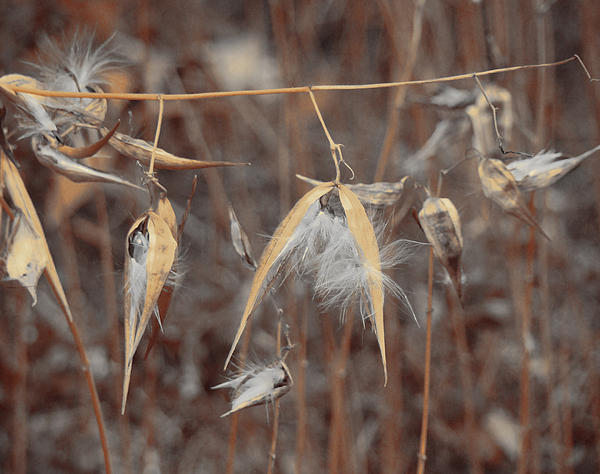 Gothicolors With Crows - Autumn Milkweed