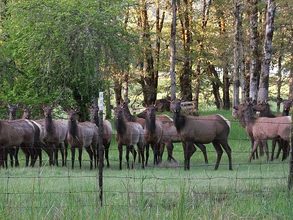 Jeremiah Colley - Azalea Elk Herd II