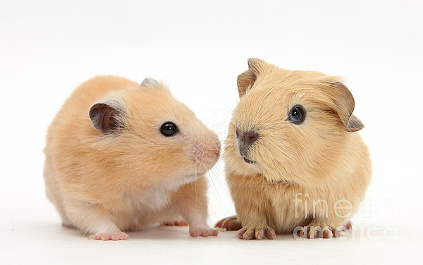 Animal Photograph - Baby Guinea Pig And Golden Hamster by Mark Taylor