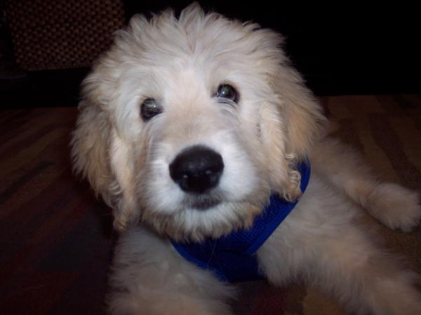 labradoodles puppies for sale. in, labradoodle puppies