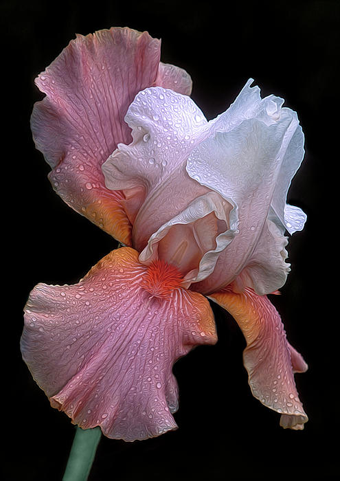 Bearded Iris Photograph  - Bearded Iris Fine Art Print