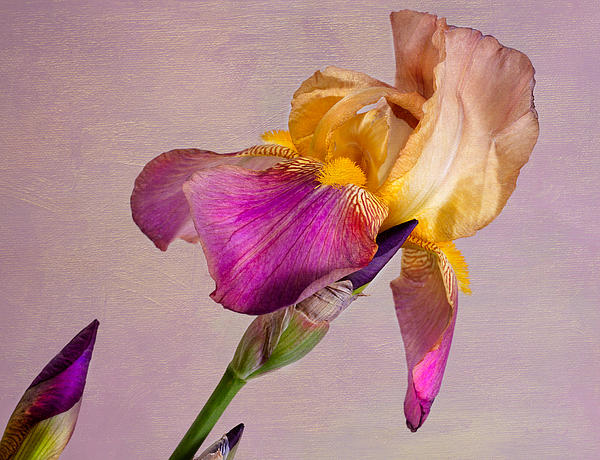 Tim Reaves - Bearded Iris