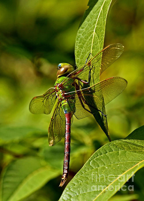 Inspired Nature Photography By Shelley Myke - Beautiful Exotic Iridescent Dragonfly on a Leaf in the Forest