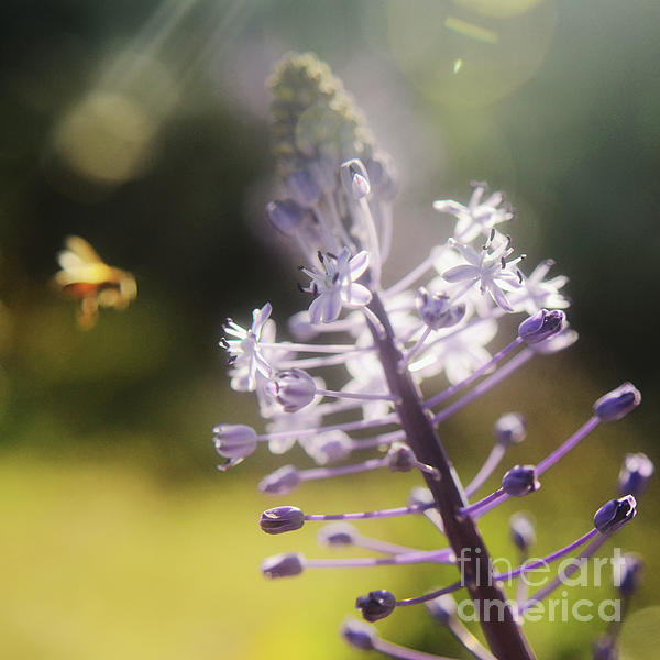Bee And Flower Photograph  - Bee And Flower Fine Art Print