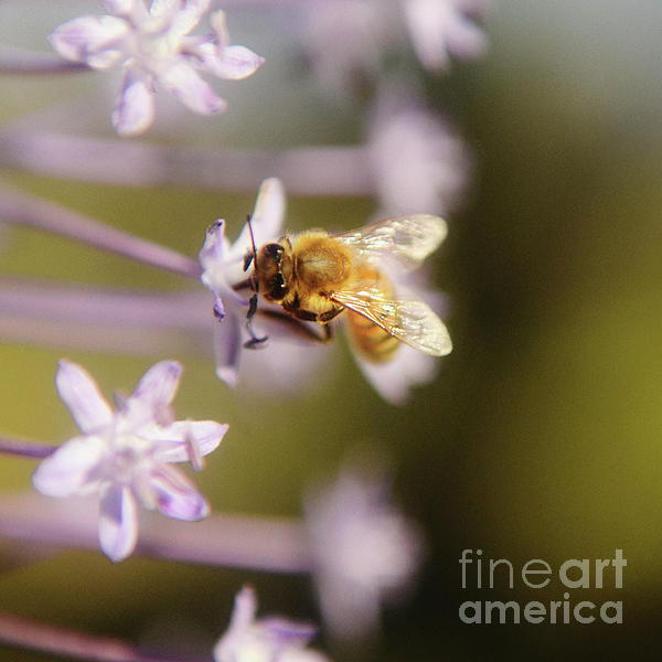 Bee Collects Nectar 6 Photograph  - Bee Collects Nectar 6 Fine Art Print