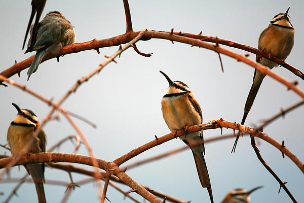Karol  Livote - Bee Eaters