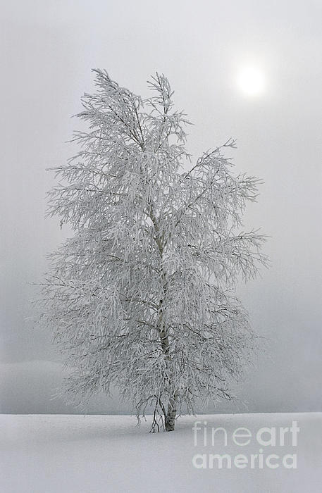Birch with hoarfrost elena filatova
