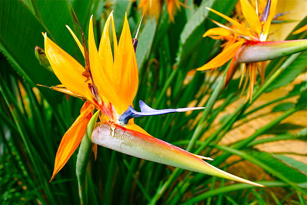 Michael Clarke JP - Bird of Paradise Flower with Ants Drinking