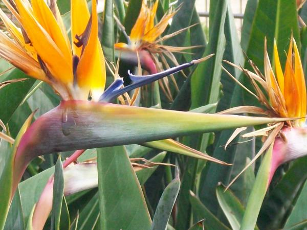 Birds Of Paradise Photograph - Birds Of Paradise Fine Art Print