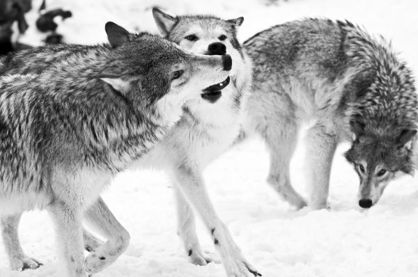 Black and White of three wolves at play Photograph - Black and White of