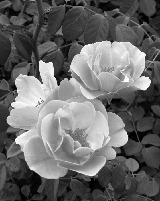 Black and White Roses 1 Photograph - Black and White Roses 1 Fine Art Print