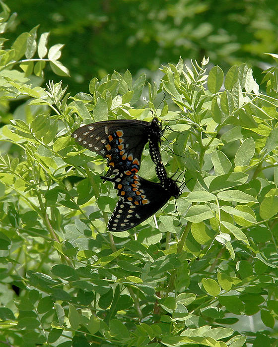 Doris Potter - Black Swallowtails mating