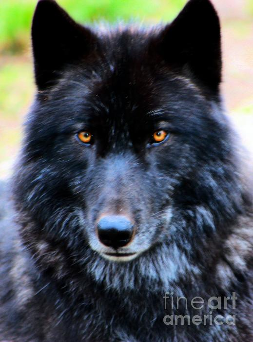 black wolf with green eyes - photo #16